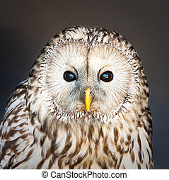 Ural owl - Lovely image of a ural owl looking at the viewer