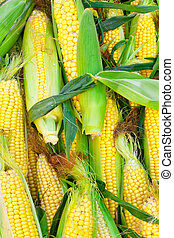Sweetcorn - Freshly harvested sweetcorn as a background...
