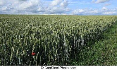 Field 17 - A Farmer check his Korn