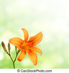 orange daylily on green blurred background
