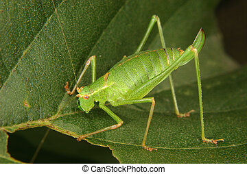 Speckled bush-cricket (Leptophyes punctatissima) - Female of...