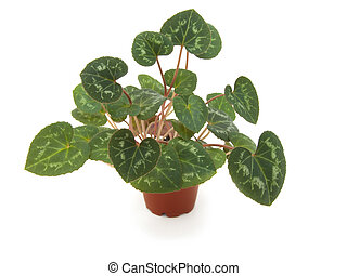 foliage of cyclamen on a white background