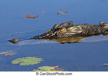 Saltwater crocodile - Large saltwater crocodile, Yellow...