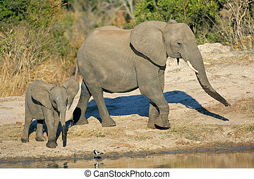 African elephants at waterhole - African elephant cow...