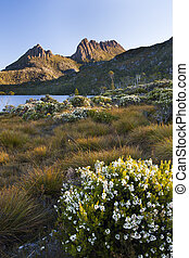 Wild flowers next to Dove Lake and Cradle Mountain Tasmania,...