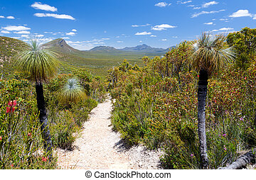 Stirling Range - Grass Trees infront of Bluff Knowl,...