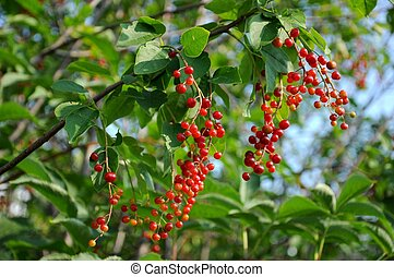 Sprig of ripe red wild cherry