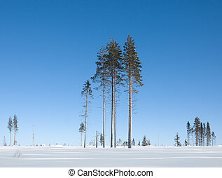 Trees - Group of conifers on a sunny winter day