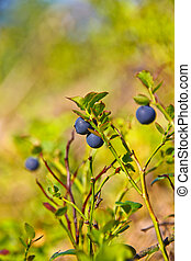 Blue berries in the forest