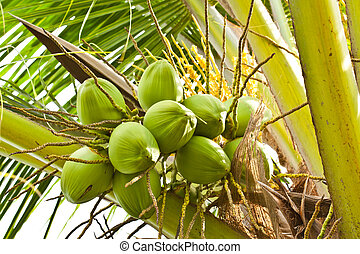 Fruit, green coconut on coconut tree