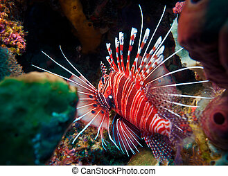 Lionfish (Pterois miles), divesite Batu bolong (Current...