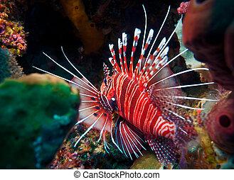 Lionfish (Pterois miles), divesite Batu bolong (Current...