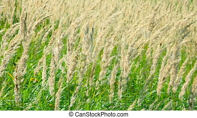 Grass stalks are shaken on a wind