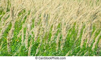 Grass stalks are shaken on a wind