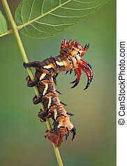 Caterpillar on walnut