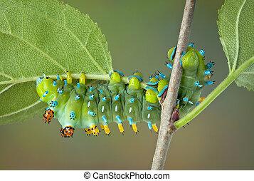 Cecropia Caterpillar on plant