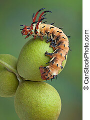 Hickory horned devil on walnuts - A Hickory Horned Devil...