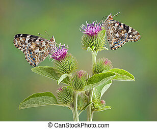 Two Painted Ladies - Two painted lady butterflies are...