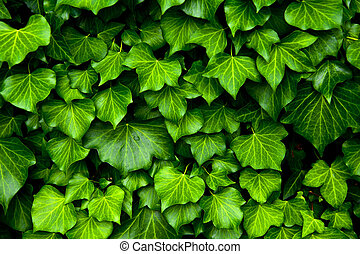 Ivy texture - Many leafs of ivy cover a wall