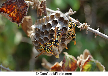 Wasp nest on the blackberry bush