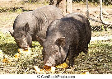 Vietnamese pig - big black pig Vietnamese outdoors