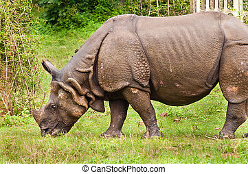 Rhino grazing - Indian one horned Rhino eating grass