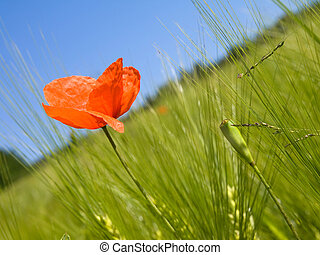 Bright red poppy stands out amongst agriculture field