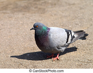 A closeup of a pigeon