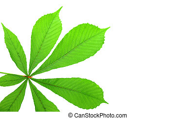 leaf isolated on white background, with room for text