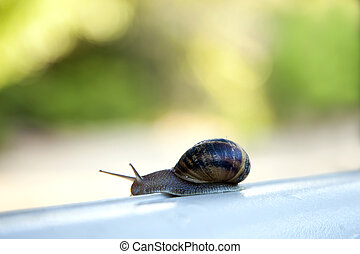 at a snail's pace - Helix pomatia, a snail's life