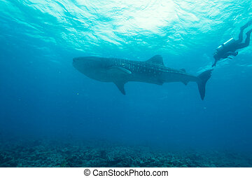 Whale shark Rhincodon typus with divers, Maldives