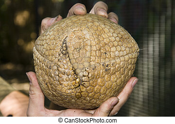Southern Three-banded Armadillo Tolypeutes matacus ball