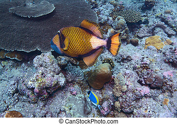 The titan triggerfish (Balistoides viridescens), Maldives