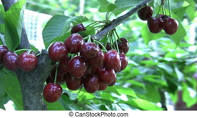 Red cherries at the tree