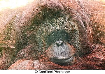 orangutang  - orangutang