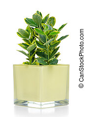 Houseplant in yellow glass pot isolated on white background.