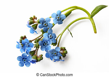 Forget Me Not - Forget me not flower isolated on white