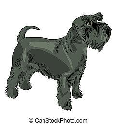 vetorial, pretas, miniatura, Schnauzer, cão