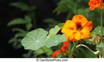 nasturtium flowers - bright orange and yellow flowers with...