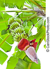 Banana Flower, and bunch in Agriculture and plantation