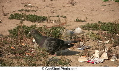 Pigeon  Full HD 1080p - Pigeons and Pollution