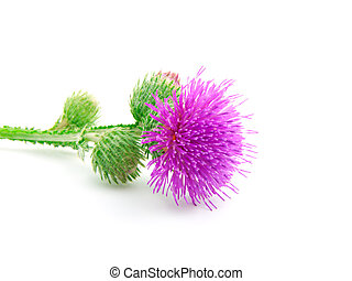 Inflorescence of Greater Burdock on white background