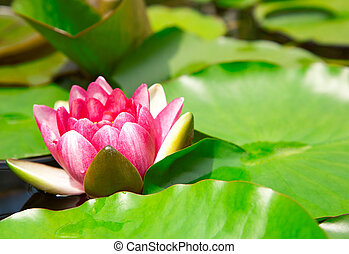 Nymphaea Water lilly in a pond