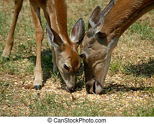Doe and her fawn feeding - Mother doe and her baby fawn...