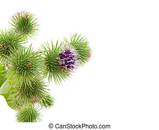 bur thorny flower. (Arctium lappa) with room for text
