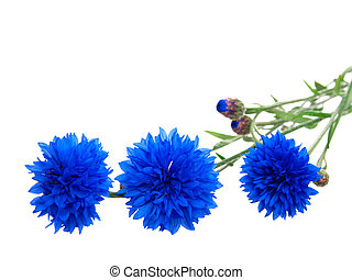 cornflower isolated on white background with with room for...