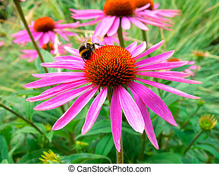 cone flower in field. Echinacea