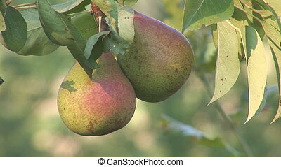 pear 2 - pears hanging on a branch