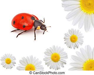ladybug with camomile