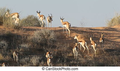 Springbok antelopes on sand dune - Springbok antelopes...